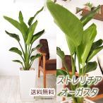 送料無料 ストレリチア オーガスタ サイズ大 陶器鉢 観葉植物 インテリア