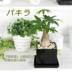 観葉植物 インテリア パキラ キューブ型角鉢