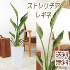 送料無料 観葉植物  ストレリチア レギネ サイズ大 陶器鉢
