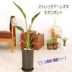 送料無料 観葉植物  ストレリチア レギネ 丸波模様陶器鉢 サイズ大