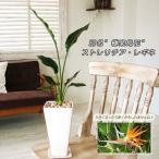 観葉植物 インテリア ストレリチア レギネ サイズ中 白角ツルツル鉢