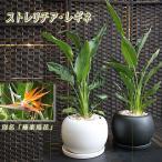 送料無料 観葉植物 インテリア ストレリチア レギネ 球丸大鉢 お得な2株植え