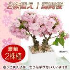 桜 盆栽 生産者さんが選んだ多芽株!たくさん花芽が付いています!咲いた時のボリュームが違います! 桜の木 豪華2本植え 陶器植え 一才桜 旭山桜