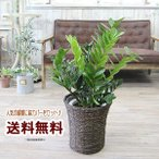 鉢カバーとセットでお得  送料無料 ザミオクルカス ザミーフォリア 7号鉢カバー付  観葉植物 インテリア