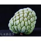 『フローズン釈迦頭(しゃかとう)』2個入り(約900g)台湾産バンレイシ ※冷凍