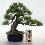 縁起の良い「松」本物そっくりの盆栽模型