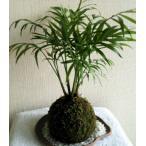 苔玉 テーブルヤシ(受け皿・小石付)