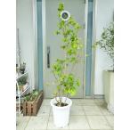 <一鉢限定>稀少な見事な樹形のジャボチカバ/195cm(10号プラ鉢)【鉢カバー別売り】※現在実は付いております。