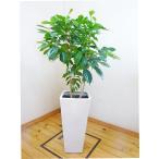 【送料無料】ロングスクエア陶器鉢仕立てのコーヒーの木 /130cm前後(10号)