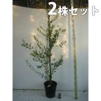 オリーブ(2本セット) 樹高1.2m前後 24cmポット オリーブの木 鉢植え 苗木 植木 苗 庭木 生け垣 送料無料