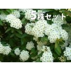 コデマリ(5本セット) 樹高0.3m前後 10.5cmポット こでまり 小手毬 (花木・植木)  苗木 植木 苗 庭木 生け垣