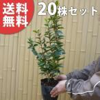 ジョウリョクガマズミ(20本セット) 樹高0.4m前後 15cmポット 苗木 植木 苗 庭木 生け垣 送料無料