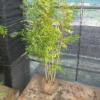 ショッピングツリー シマトネリコ 樹高1.2m前後 根巻 病害虫も少ないです。人気の株立ち  苗木 植木 苗 庭木 生け垣 送料込み