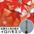 イロハモミジ 樹高0.5m前後 10.5cmポット (いろは紅葉 イロハカエデ いろは楓 紅葉 モミジ もみじ) 苗木 植木 苗 庭木 生け垣