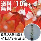 イロハモミジ(10本セット) 樹高0.5m前後 10.5cmポット (いろは紅葉 紅葉 モミジ もみじ かえで カエデ 楓) 苗木 植木 苗 庭木 生け垣 送料込み