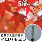 イロハモミジ(5本セット) 樹高0.5m前後 10.5cmポット (いろは紅葉 イロハカエデ いろは楓 紅葉 モミジ もみじ かえで カエデ 楓) 苗木 植木 苗 庭木 生け垣