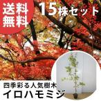 ショッピングツリー イロハモミジ(15本セット) 樹高0.8m前後 12cmポット  (いろは紅葉 イロハカエデ いろは楓 紅葉 モミジ) 苗木 植木 苗 庭木 生け垣 送料込み