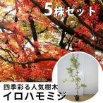 イロハモミジ(5本セット) 樹高1.0m前後 12cmポット  (いろは紅葉 イロハカエデ いろは楓 紅葉 モミジ) 苗木 植木 苗 庭木 生け垣