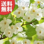 エゴノキ(10本セット) 樹高0.5m前後 10.5cmポット えごのき エゴの木 白い清楚な花が、枝いっぱいに咲く木 苗木 植木 苗 庭木 生け垣 送料無料