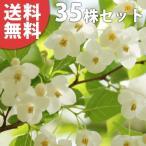 エゴノキ(35本セット) 樹高0.5m前後 10.5cmポット えごのき エゴの木 白い清楚な花が、枝いっぱいに咲く木 苗木 植木 苗 庭木 生け垣 送料無料