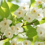 エゴノキ 樹高1.0m前後 12cmポット えごのき エゴの木 白い清楚な花が、枝いっぱいに咲く木 苗木 植木 苗 庭木 生け垣