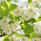 エゴノキ(5本セット) 樹高1.0m前後 12cmポット えごのき エゴの木 白い清楚な花が、枝いっぱいに咲く木 苗木 植木 苗 庭木 生け垣