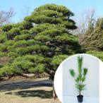 クロマツ 樹高0.3m前後 10.5cmポット 黒松 くろまつ 松の木 苗木 植木 苗 庭木 生け垣