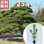 クロマツ(25本セット) 樹高0.3m前後 10.5cmポット 黒松 くろまつ 松の木 苗木 植木 苗 庭木 生け垣 送料込み