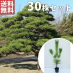 クロマツ(30本セット) 樹高0.3m前後 10.5cmポット 黒松 くろまつ 松の木 苗木 植木 苗 庭木 生け垣 送料込み
