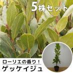 ゲッケイジュ(5本セット) 樹高0.6m前後 10.5cmポット (月桂樹) ローリエ葉のさわやかな香りが人気のシンボルツリー 苗木 植木 苗 庭木 生け垣