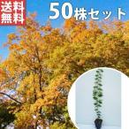 ケヤキ(50本セット) 樹高0.5m前後 10.5cmポット けやき 欅 苗木 植木 苗 庭木 生け垣 送料無料