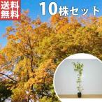 ケヤキ(10本セット) 樹高1.0m前後 12cmポット けやき 欅 苗木 植木 苗 庭木 生け垣 送料無料