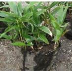 コグマザサ  10.5cmポット 小熊笹  『笹』 グランドカバーに  苗木 植木 苗 庭木 生け垣