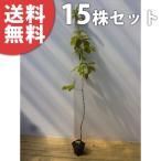 コナラ(15本セット) 樹高1.0m前後 12cmポット こなら 苗木 植木 苗 庭木 生け垣 送料無料