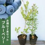 ブルーベリー 2品種セット(2本セット) 樹高0.4m前後 13.5cmポット (ティフブルーとホームベルのセット) ラビットアイ 苗木 植木 苗 庭木 生け垣 果樹