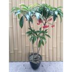 マンリョウ 樹高0.3m前後 15cmポット 万両 赤実 まんりょう 苗木 植木 苗 庭木 生け垣 中木・低木