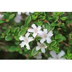 ハクチョウゲ(15本セット) 樹高0.4m前後 13.5cmポット (白丁花) 小さな白い花が特徴八重 苗木 植木 苗 庭木 生け垣 送料無料 花を楽しむ木