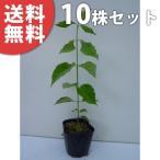 ハナミズキ(10本セット) 樹高0.3m前後 10.5cmポット 花水木 はなみずき 苗木 植木 苗 庭木 生け垣 送料無料