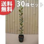 フェイジョア(30本セット) 樹高0.6m前後 9cmポット  苗木 植木 苗 庭木 生け垣 送料無料 果樹