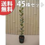 フェイジョア(45本セット) 樹高0.6m前後 9cmポット  苗木 植木 苗 庭木 生け垣 送料無料 果樹