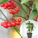 マンリョウ 樹高0.2m前後 12cmポット 万両 赤実 まんりょう 苗木 植木 苗 庭木 生け垣 中木・低木