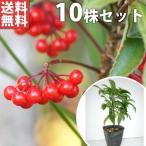 マンリョウ(10本セット) 樹高0.2m前後 12cmポット 万両 赤実 まんりょう 苗木 植木 苗 庭木 生け垣 送料無料 中木・低木