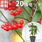 マンリョウ(20本セット) 樹高0.2m前後 12cmポット 万両 赤実 まんりょう 苗木 植木 苗 庭木 生け垣 送料無料 中木・低木