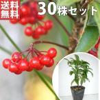 マンリョウ(30本セット) 樹高0.2m前後 12cmポット 万両 赤実 まんりょう 苗木 植木 苗 庭木 生け垣 送料無料 中木・低木