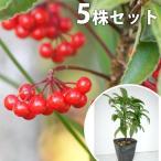 マンリョウ(5本セット) 樹高0.2m前後 12cmポット 万両 赤実 まんりょう 苗木 植木 苗 庭木 生け垣 中木・低木