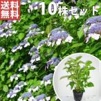 ヤマアジサイ(10本セット) 樹高0.3m前後 15cmポット 山紫陽花 やまあじさい 苗木 植木 苗 庭木 生け垣 送料込み