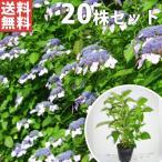 ヤマアジサイ(20本セット) 樹高0.3m前後 15cmポット 山紫陽花 やまあじさい 苗木 植木 苗 庭木 生け垣 送料込み 花を楽しむ木