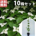 ヤマボウシ(10本セット) 樹高0.4m前後 10.5cmポット やまぼうし 苗木 植木 苗 庭木 生け垣 送料込み