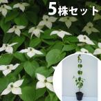 ヤマボウシ(5本セット) 樹高0.4m前後 10.5cmポット やまぼうし 苗木 植木 苗 庭木 生け垣