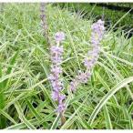 斑入りヤブラン  10.5cmポット ヤブラン フイリヤブラン やぶらん 苗木 植木 苗 庭木 生け垣